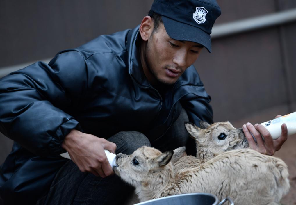 十一只藏羚羊幼崽在可可西里获救