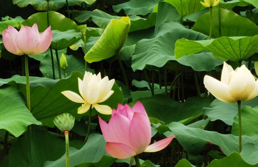 广东深圳:莲花盛开,风景秀丽