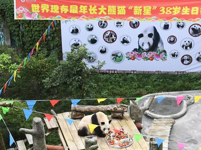 世界上岁数最大的圈养大熊猫,庆祝 38 岁生日
