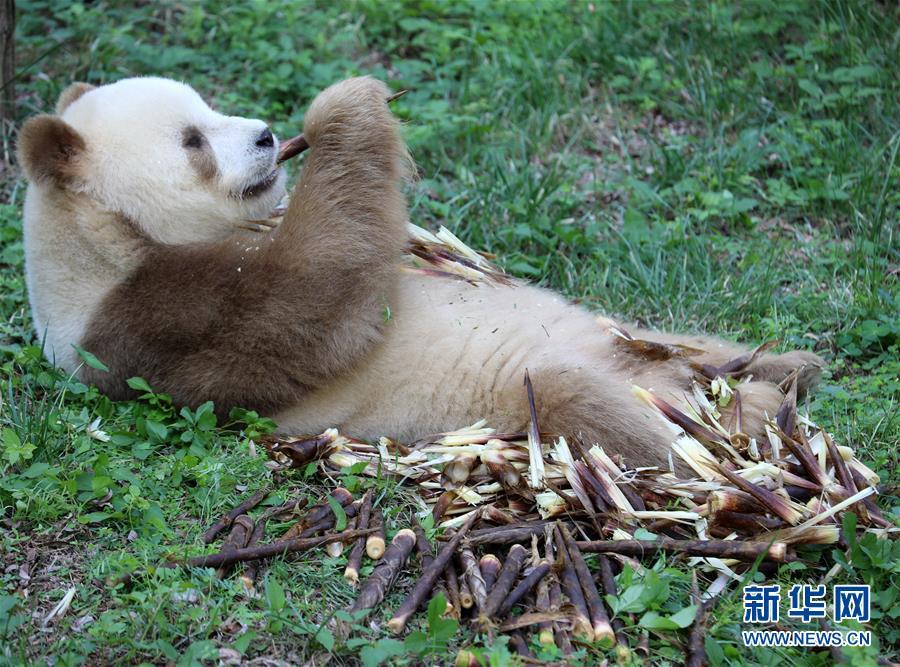 """棕色大熊猫""""七仔""""的美满生活"""