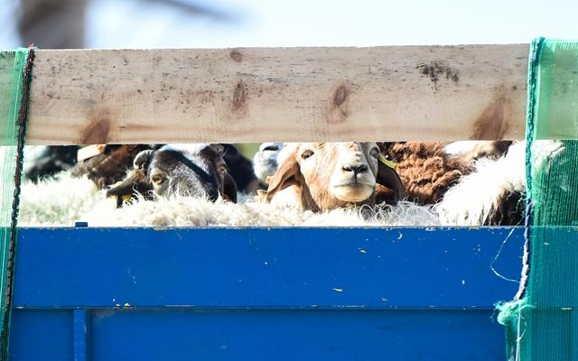 10月22日在内蒙古二连浩特口岸拍摄的蒙古国捐赠的羊。
