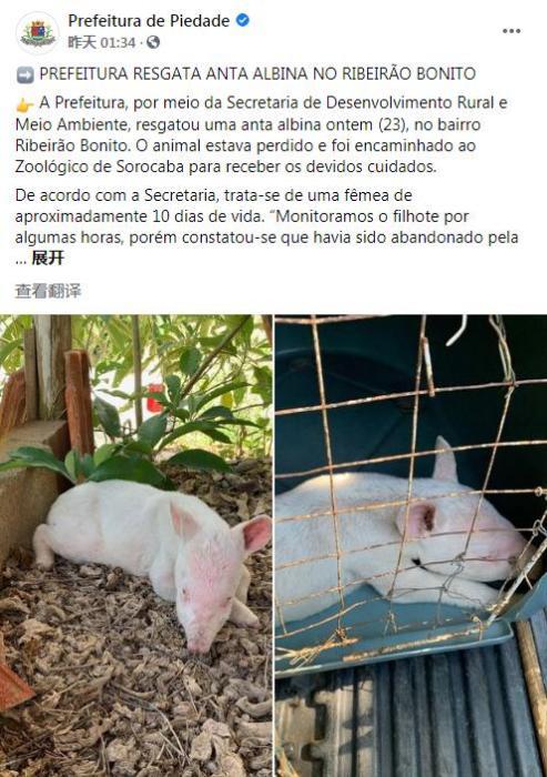 因毛色罕见被丢弃, 巴西一城市发现稀有白化貘宝宝