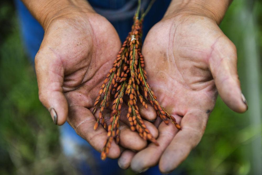 中央经济工作会议,为什么要解决好种子问题?