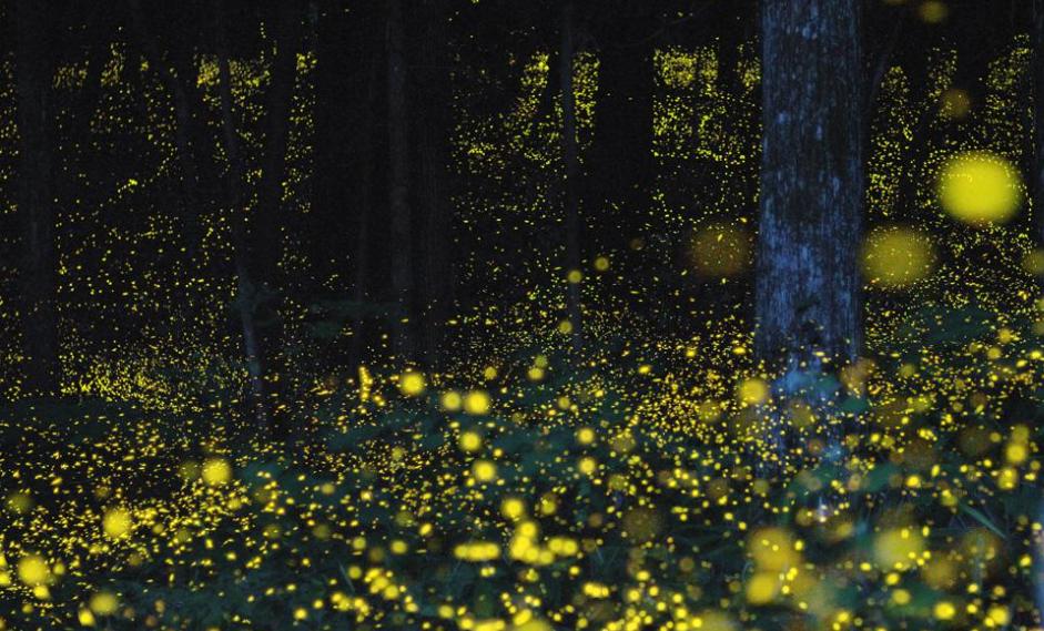 萤火虫在1亿年前学会了对抗掠食者